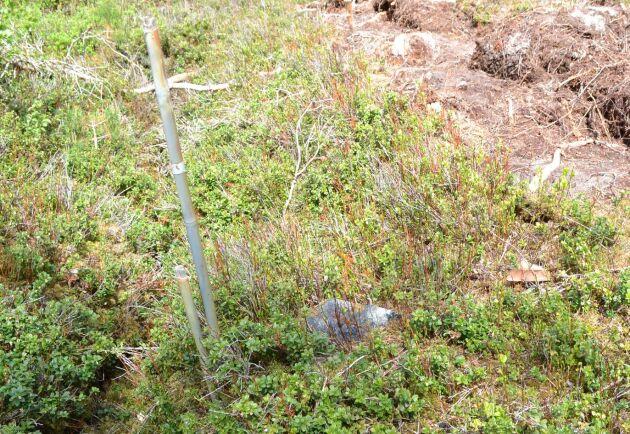 På den ena avverkningen har snitslingen bland annat utgått från den här stenen. Men den stämmer inte med fastighetskartan och bedöms av Björn Ros på Sveaskog inte som en trovärdig gränsmarkering.
