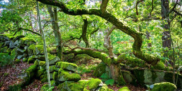 100 miljoner ska gå till skydd av skog
