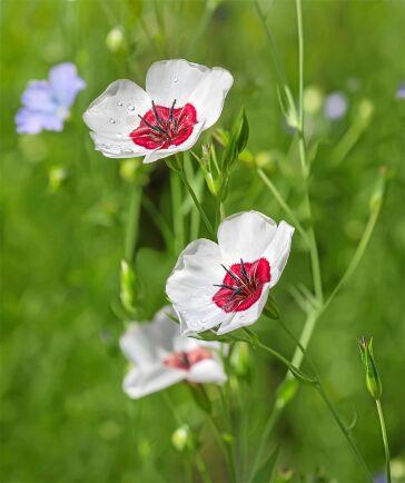 Blomsterlinet finns också i tvåfärgat. Här en vit med röd mitt.