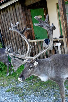 Renarna är helt i centrum för Jon Henriks liv - och den samiska kulturen.