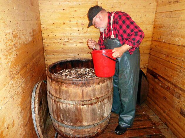 Saltmästare Anders tittar till fisken som lagrats i trätunnor.