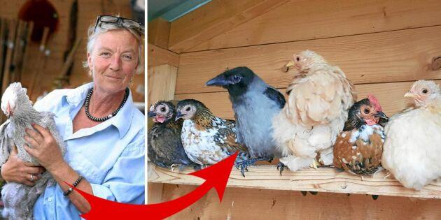 Tina-Marie räddade kråkan Åsa – som fick flytta in i hönshuset!
