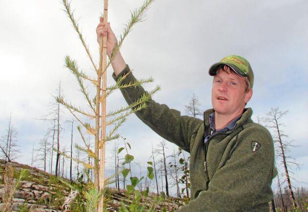 Runt tre meter är de högsta lärkplantorna tre år efter plantering.