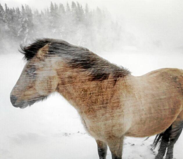 PLATS 2-5. Julia Eldh i Krokom fotograferade sin häst Herkules som tålmodigt står emot en vinterstorm, som höll på att bära iväg med själva fotografen.