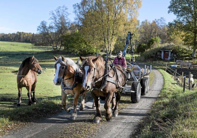 Hästarna är också arbetskamrater i det dagliga livet på gården.
