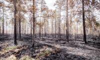 """Avvakta att ta ut virke ur brandskadad skog"""