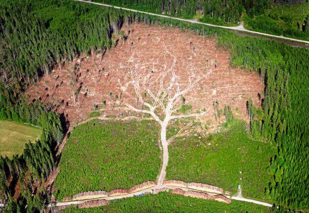 Efter uppröjningen efter Gudrun liknade hygget ett träd format i landskapet. Fotografen Joakim Berglunds flygbild från det stormdrabbade området utsågs till Årets bild.