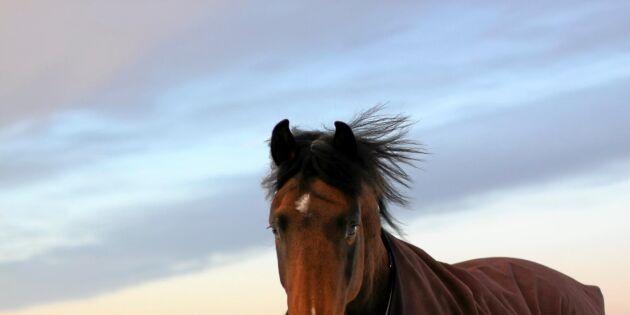 Jämtska hästar vinner mark
