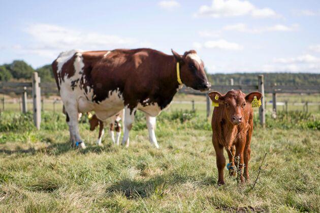 När det är dags att skilja ko och kalv från varandra är planen att successivt dra ner på kontakten mellan dem tills kons intresse för kalven minskar.