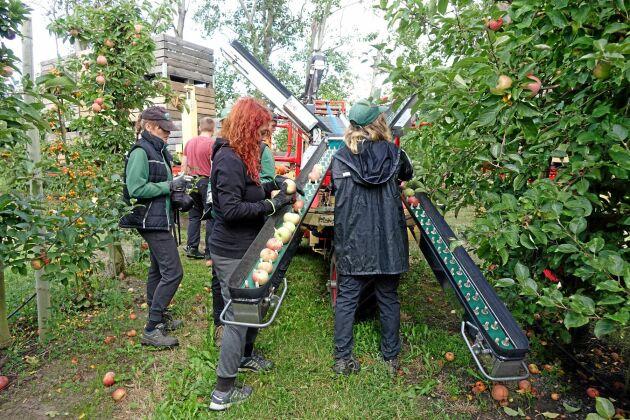Säsongspersonalen på Solnäs Gård kommer från Polen och har jobbat i företaget under många år. Nu är det äpplesorten Aroma som är mogen och ska in i lager.