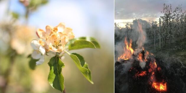 Eld ska rädda äppelodlingarna
