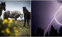 Blixt slog ner i hage – flera ponnyer dog