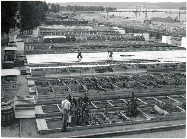 Personal i arbete på trädgårdsdepån i Östersund 1947.