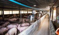 Panikslakt av grisar i Rumänien
