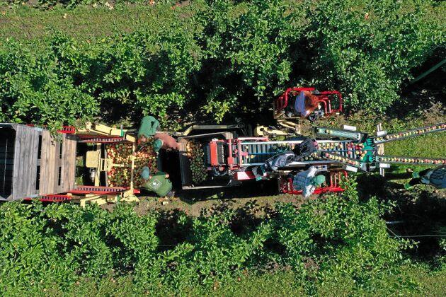 Äppleskörden är i full gång på Solnäs gård utanför Lund, som ägs av Kiviks Musteri. Nu är det röda aromaäpplen som plockas och plockningssäsongen pågår till slutet på oktober.