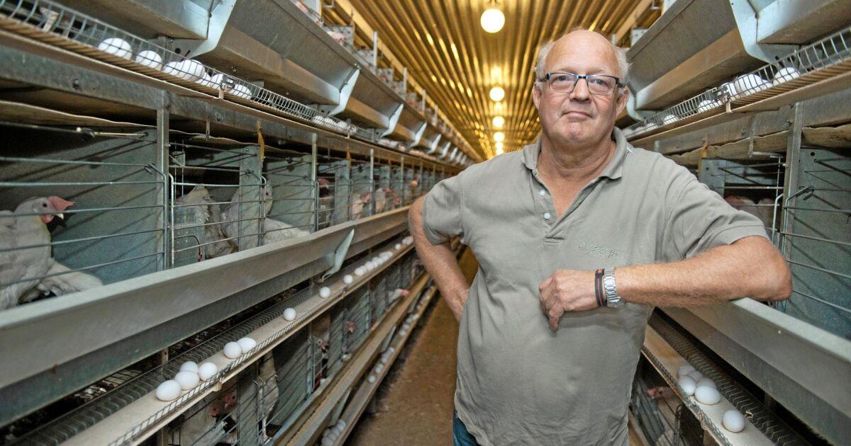 Brist på unghöns anstränger äggbranschen