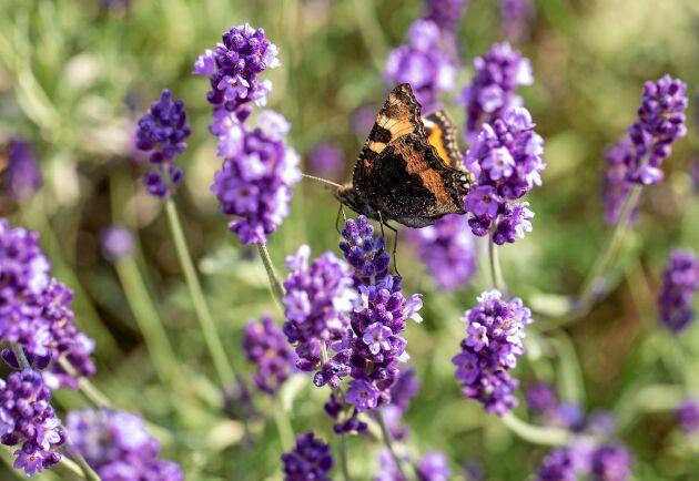 Lavendel gör gott för dig men också för bin, humlor och fjärilar.
