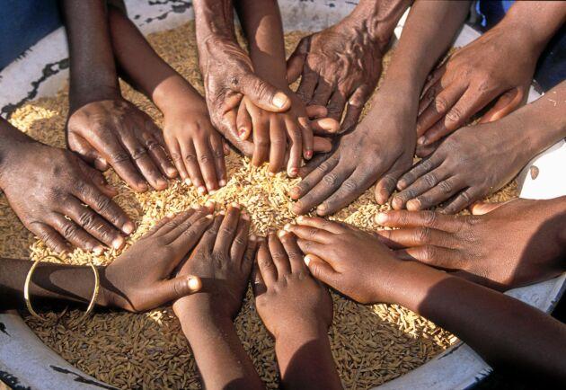 Ghana är ett av de länder där lokala bönder har svårt att konkurrera med starkt subventionerade importvaror som ris från USA.