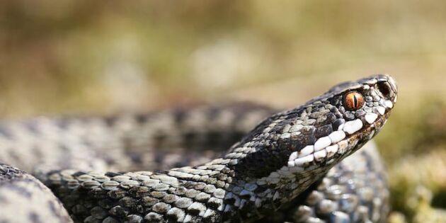 Snart kommer ormarna fram – och luktar med tungan!