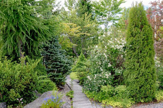 Lite större barrväxter bildar en grön stomme året om. Från vänster en fluffig lärk, en berggran som heter 'Compacta' och en pelarformad tuja 'Smaragd'.