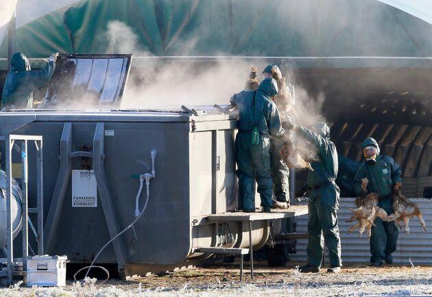 Ankor gasas ihjäl efter ett utbrott av fågelinfluensa av typen H5N8 på en gård i Latrille i sydvästra Frankrike i januari 2017.