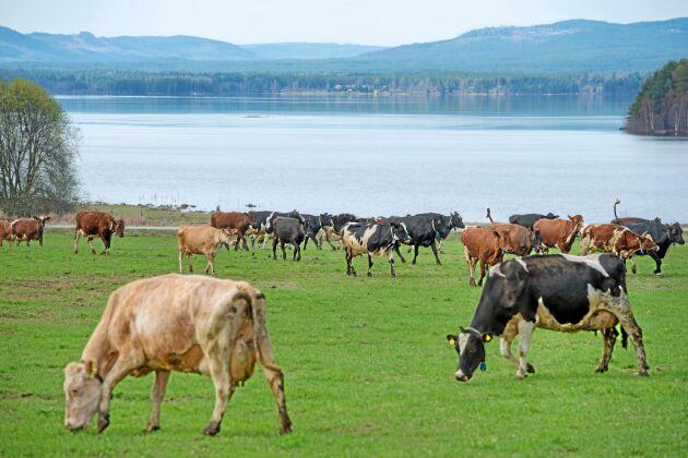 Våtmarken närmast Orsasjön bedöms ha särskilda värden och lockar fågelskådare med sitt rika fågelliv. Nötkreatur klarar att beta marken som är för sank för maskiner. Foto: Trons