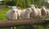 Misstänkt lammstöld i småländsk hage
