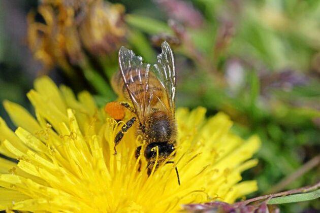 Ett nationellt institut för bin och pollinerande insekter planeras i Västra Götaland.