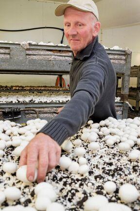 Odlingen ger cirka ett ton svamp i veckan. Anders Nilsson och hans kompanjon plockar champinjoner året om.