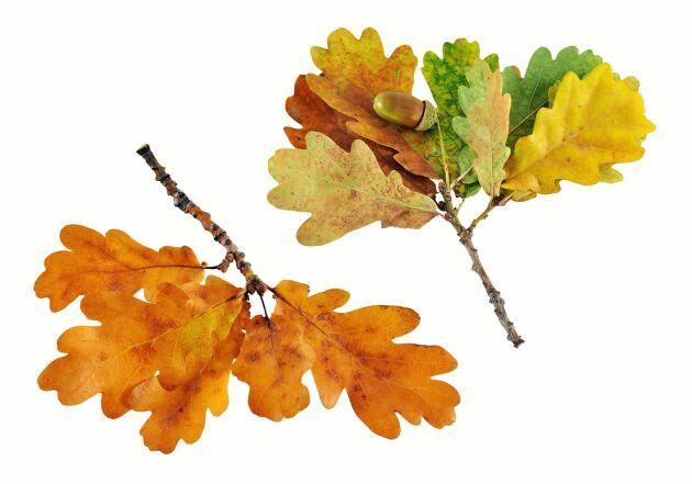 Ekens löv blir riktig finsmakarmull.