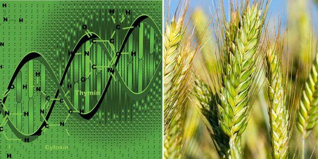 Gensaxar klassas under EU:s regler för GMO