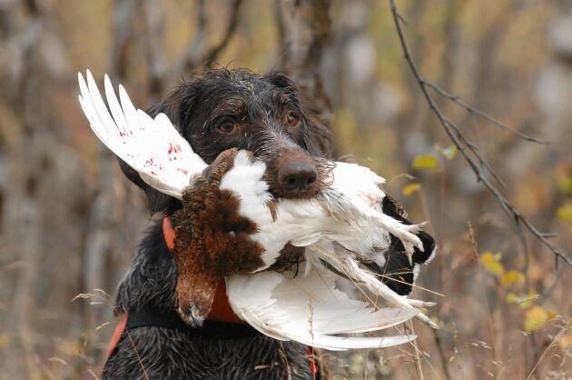 Strävhårig vorsteh som just lyckats med sitt jobb som stående fågelhund.