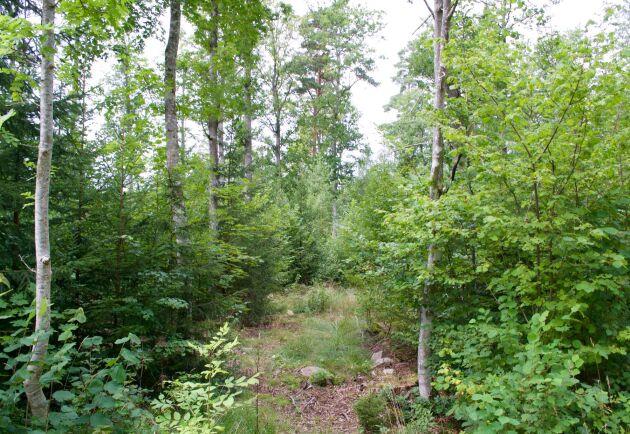 Självföryngring med bara 40 huvudstammar per hektar, stort kronutrymme och kort omloppstid gör eken lönsam, enligt Lennart Bosrup.