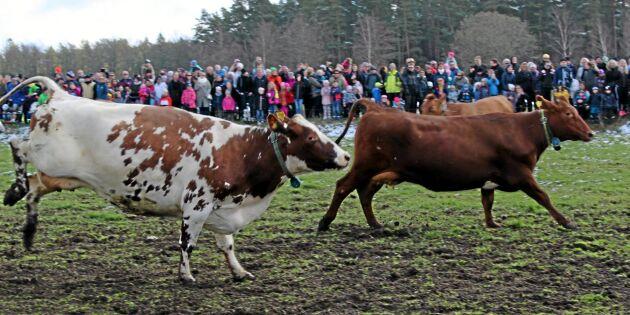Djurrättsaktivister uppmanar slå till mot kosläpp