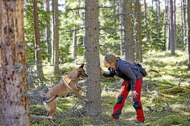 Stort behov. Under vår och sommar har Annette Johansson och hennes hundar fullt upp med att hjälpa skogsägare att hitta angripna träd.