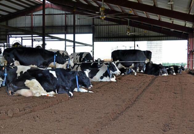 Sen korna flyttat in i stallet med kompostbädd har hasskadorna försvunnit.
