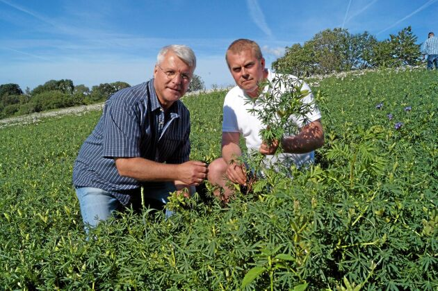 Gunnar Backman och Magnus Bengtsson inspekterar lupinodlingen på Körslätts gård.