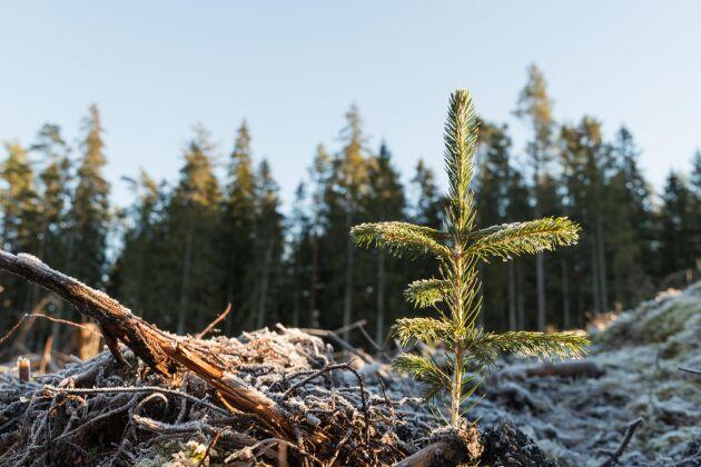 Cirka 350 miljoner skogsplantor planteras årligen i Sverige.