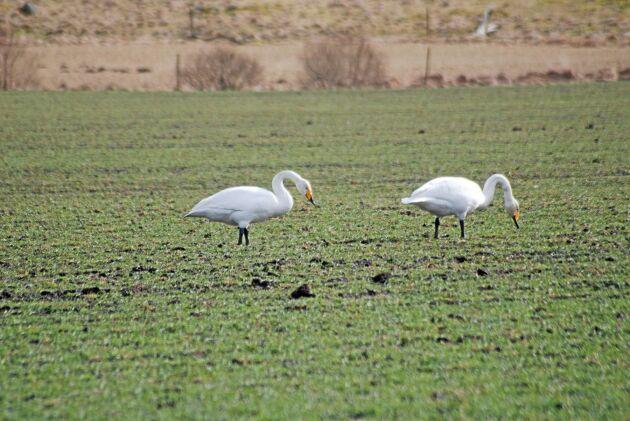 Svanar som äter upp grödor för lantbrukare är ett problem i Skåne.