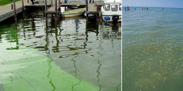 Nu är algblomningen i gång – det här gäller om du ska bada
