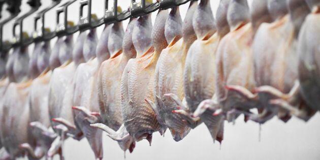 Kycklingar hos Guldfågeln skållades levande