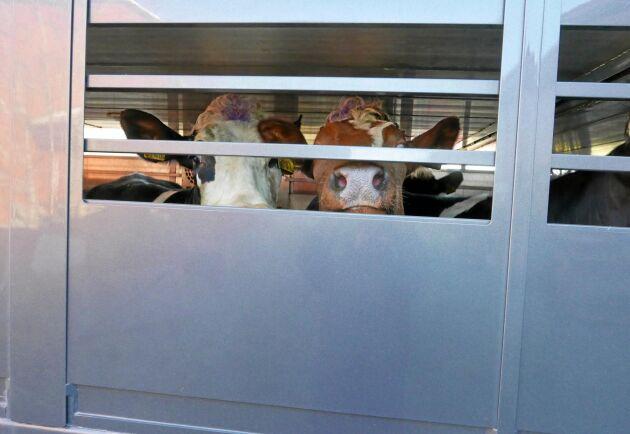 Det är alla typer av djurtransporter som infattas i satsningen, bland annat djurtransporter till slakterier. Arkivbild.