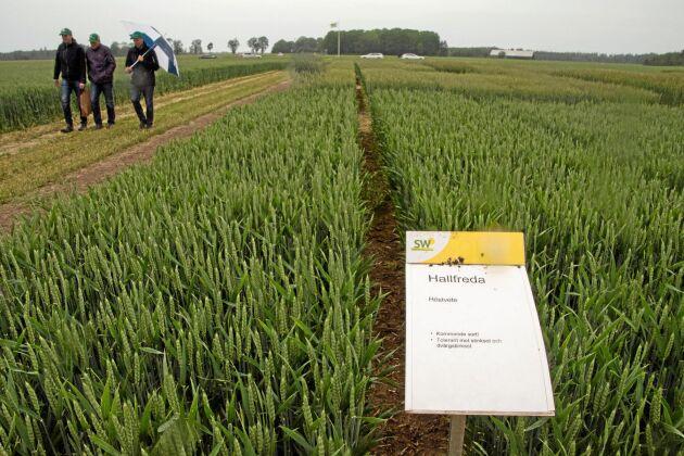I demoodlingarna på Bjertorpsdagen fanns bland andra den kommande höstvetesorten Hallfreda.
