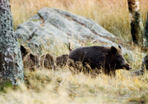 En sugga med kultingar. Vildsvinen är fotograferade i ett svenskt hägn.