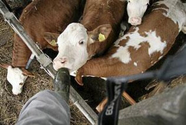 Fleckviehkorna är nyfikna och har ett trevligt kynne. Här smakar en av kvigorna på reporterns stövel. Foto: Torbjörn Esping