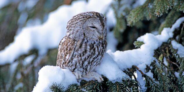 Snön får många ugglor att svälta ihjäl