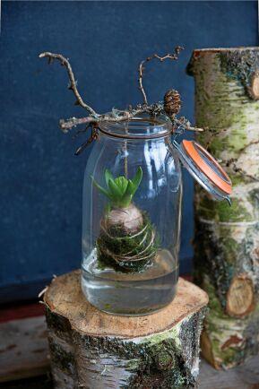 Svävande hyacint i glas.