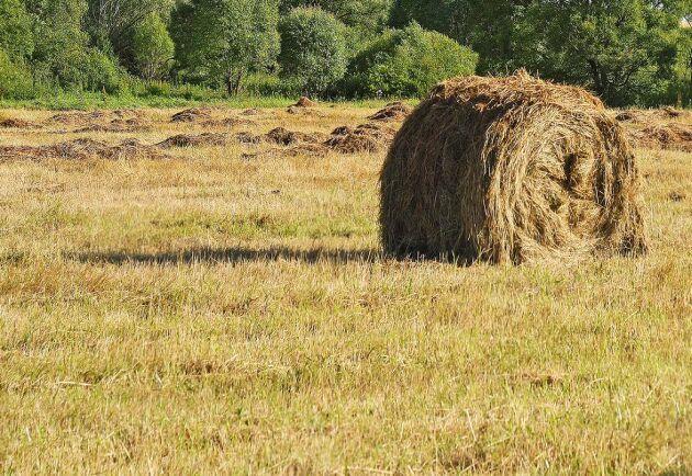 Många kommuner upplät slåttermark till krisdrabbade bönder i extremhettans spår.