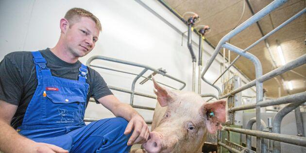 Här testas grisningsboxar för högre djurvälfärd