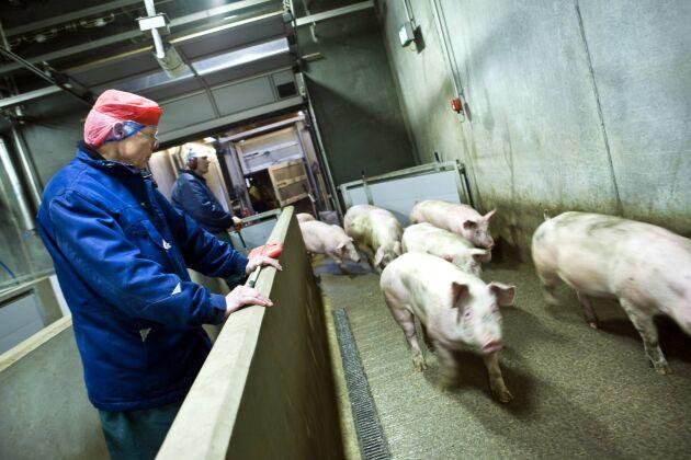 Samtidigt som antibiotikaförbrukningen i grisproduktionen har sjunkit har Danmark tappat en stor del av sin export till Sverige.